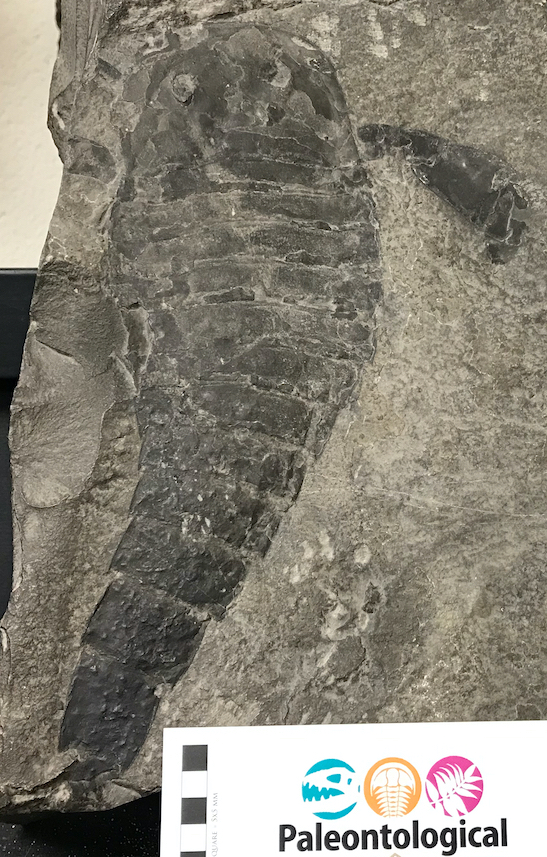 A eurypterid from the Tufts University Geological Collection. The label is missing, but I think this a <em>Eurypterus</em> from the Silurian of New York. Specimen from Tufts University Geological Collection.